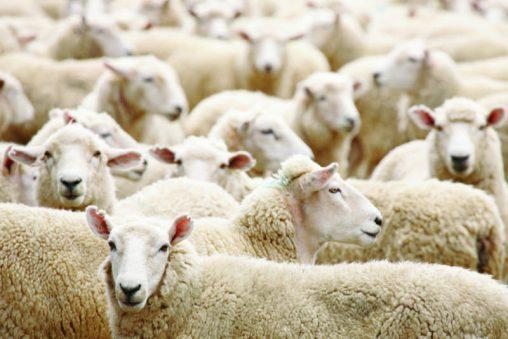 Eine Merino Schafherde